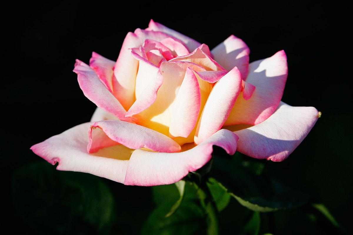 Kako gajiti ruže na balkonu i u sobi…
