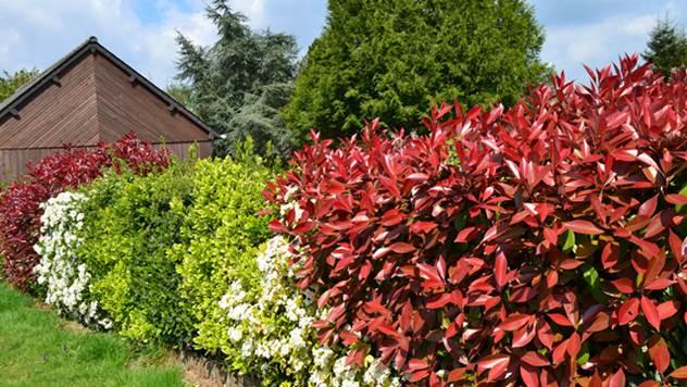 Idealna živa ograda za vaše dvorište