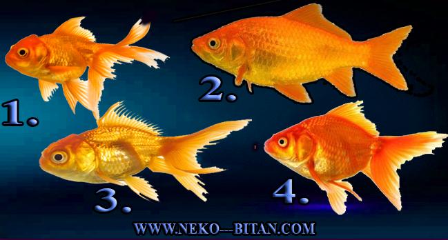 ZLATNA RIBICA ISPUNJAVA ŽELJE: Pomislite želju, izaberite jednu zlatnu ribicu i saznajte kada će se vaša najveća želja ostvariti!