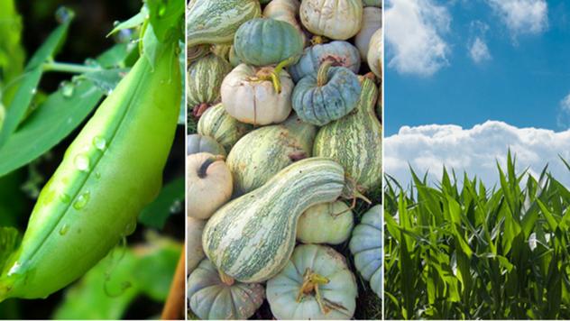 Udružena sadnja: Kako da gajite pasulj, tikve i kukuruz?