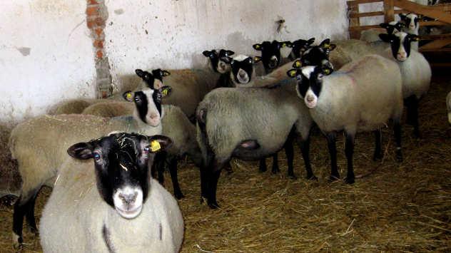 5 faktora koji utiču na proizvodnju ovčijeg mleka