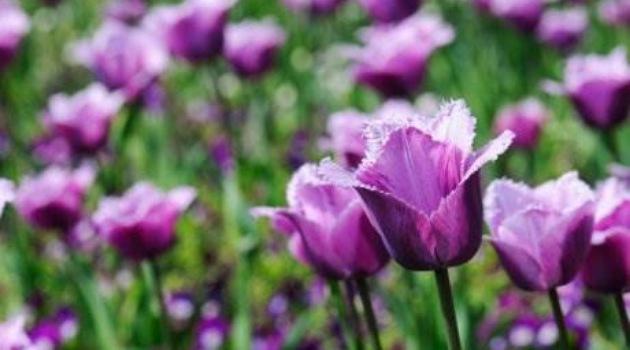 PROLEĆNA BAŠTA: Zasadite ove LALE i bašta će vam biti LEPA čitavo proleće!